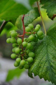 Viinirypäleitä ulkosaaristossa