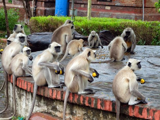 Kuvassa lauma ruotsalaisia apinoita. Kaikille on saatu hommattua banaani.